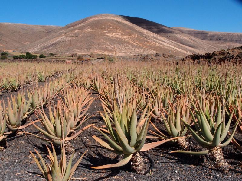 Aloe Vera - Kanarische Produkte